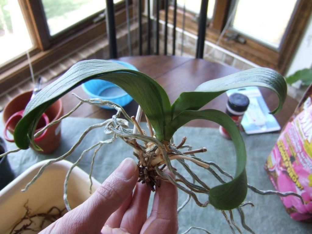 Уход за орхидеей после цветения: что делать со стрелкой, стеблем, цветоносами