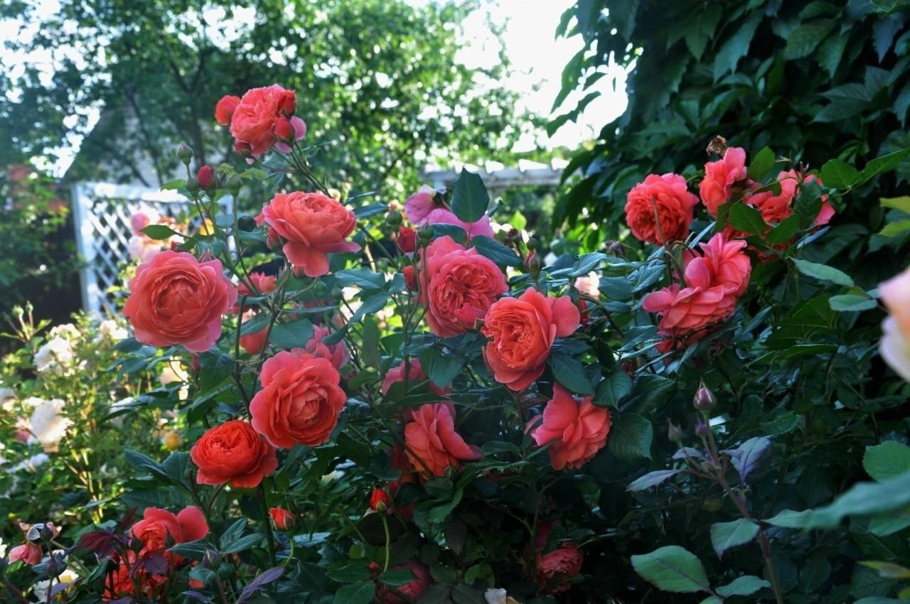 Описание английской душистой розы саммер сонг: посадка и уход за кустарником
