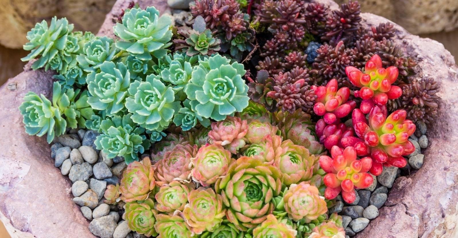 Многолетние цветы очиток: фото и названия видов, уход за растением