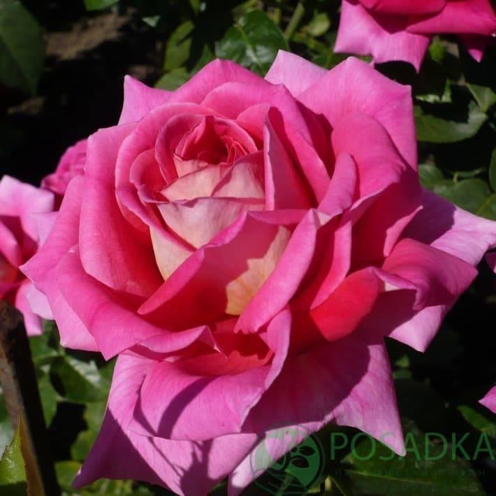 Чайно-гибридная роза: описание сортов, особенности выращивания