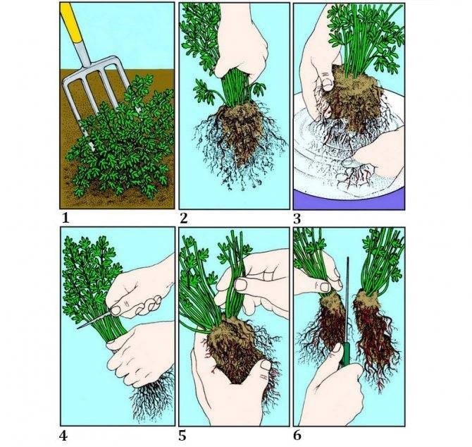 Как размножить гортензию метельчатую, древовидную, крупнолистную
