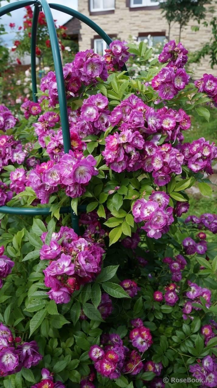 Неприхотливая красота: самые красивые сорта плетистых роз