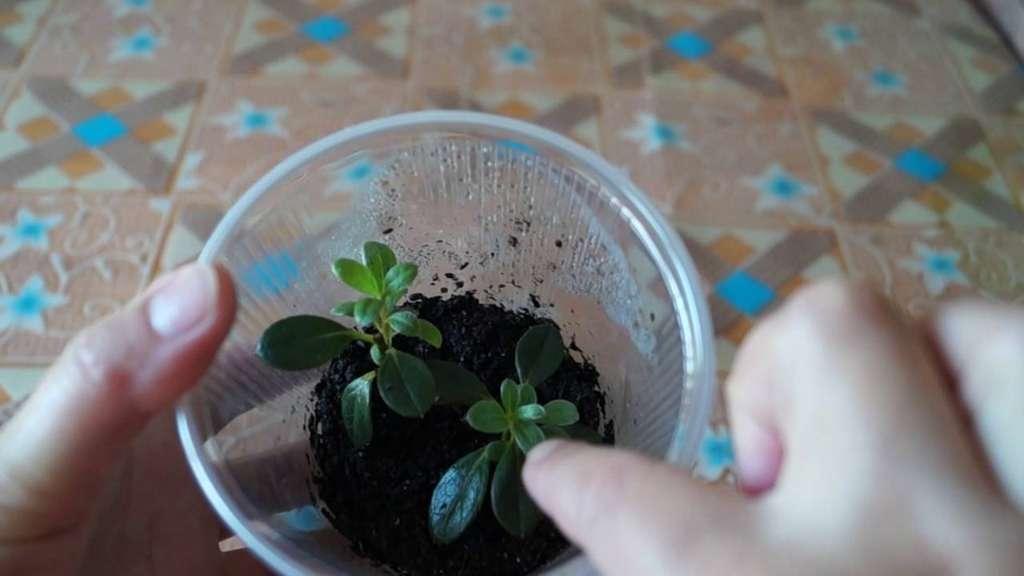 Как пересадить азалию — варианты в домашних условиях