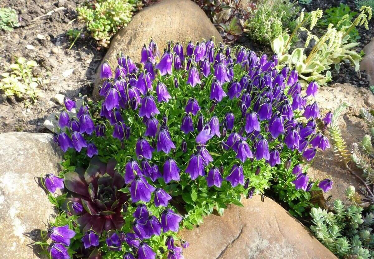 Колокольчик садовый (48 фото): многолетние виды и сорта кампанулы, посадка, уход за крупными и низкорослыми цветками