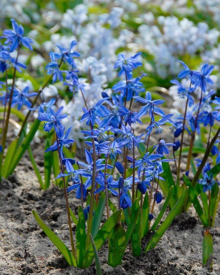 Цветы «пролеска» (сцилла): виды и сорта, посадка и уход в открытом грунте + фото
