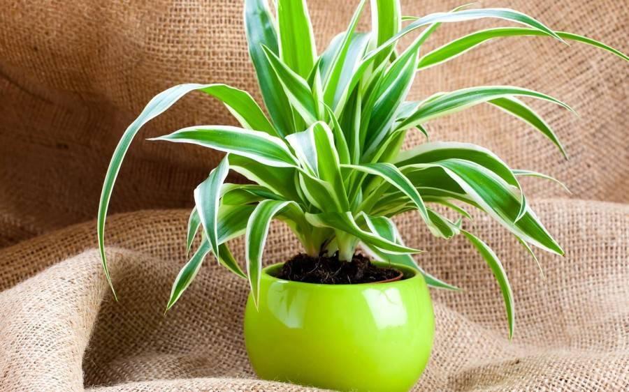 Как ухаживать за цветком хлорофитум в домашних условиях