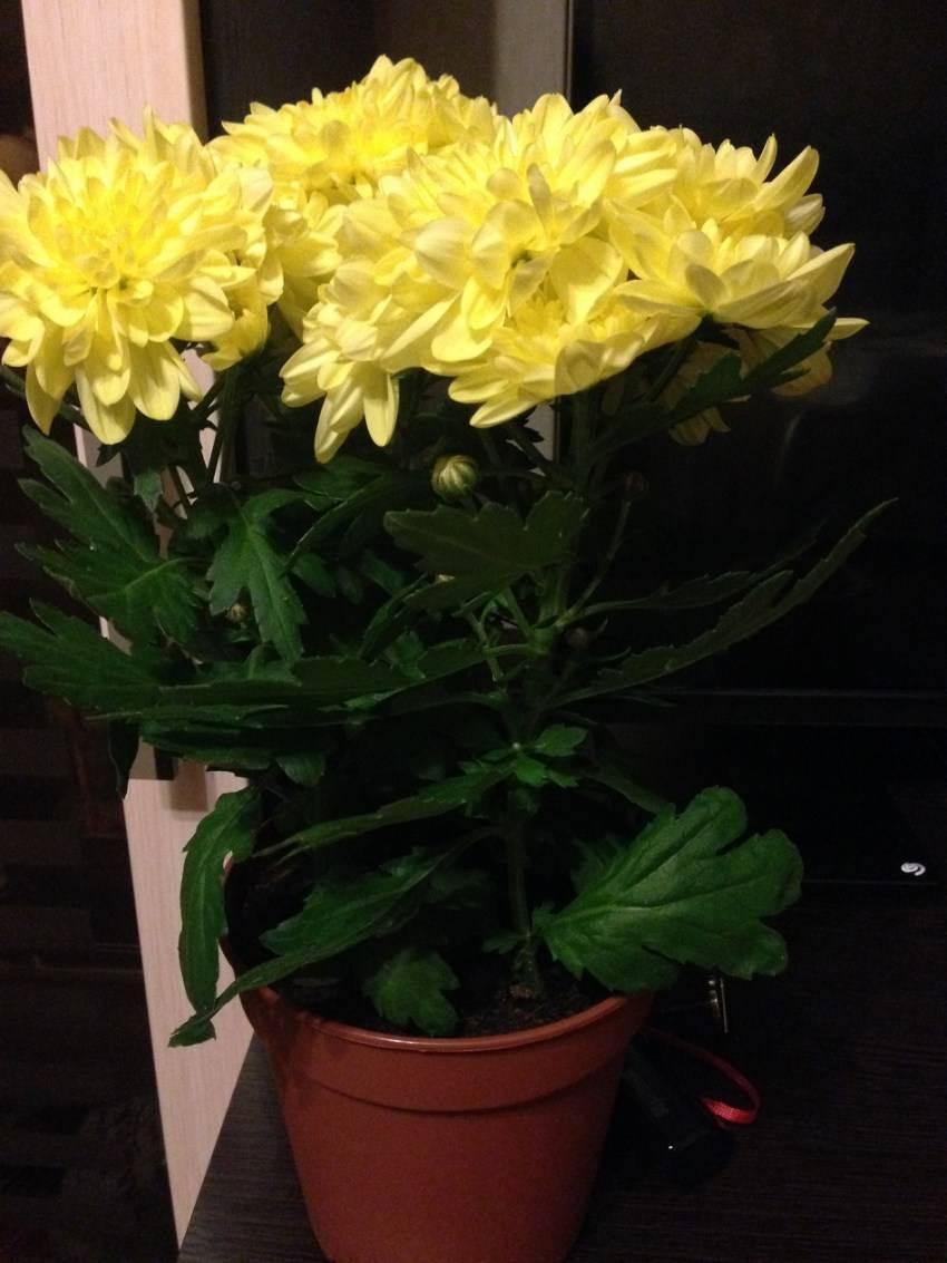 Хризантема садовая: самые популярные сорта с фото