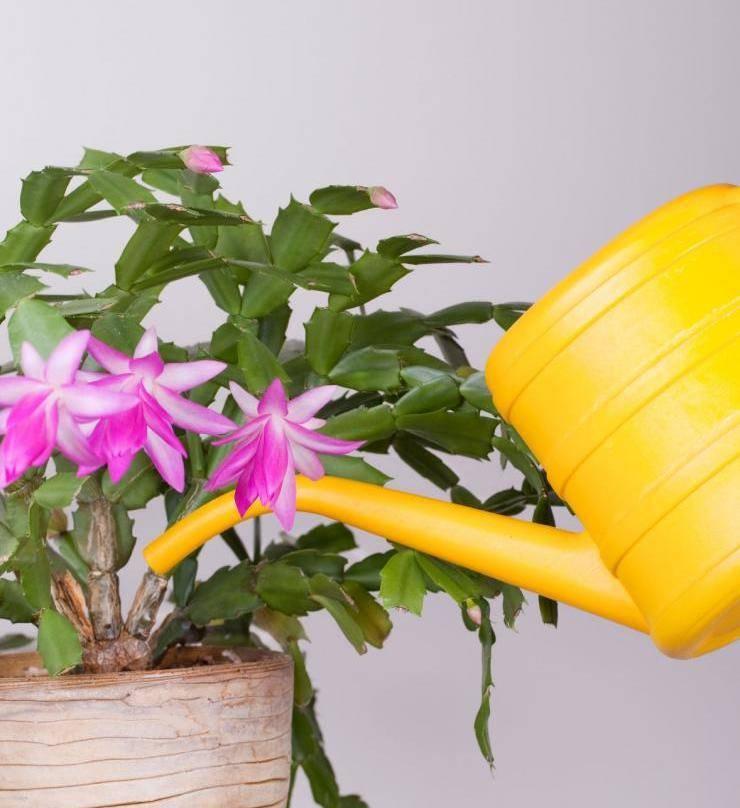 Цветок бромелия — уход в домашних условиях