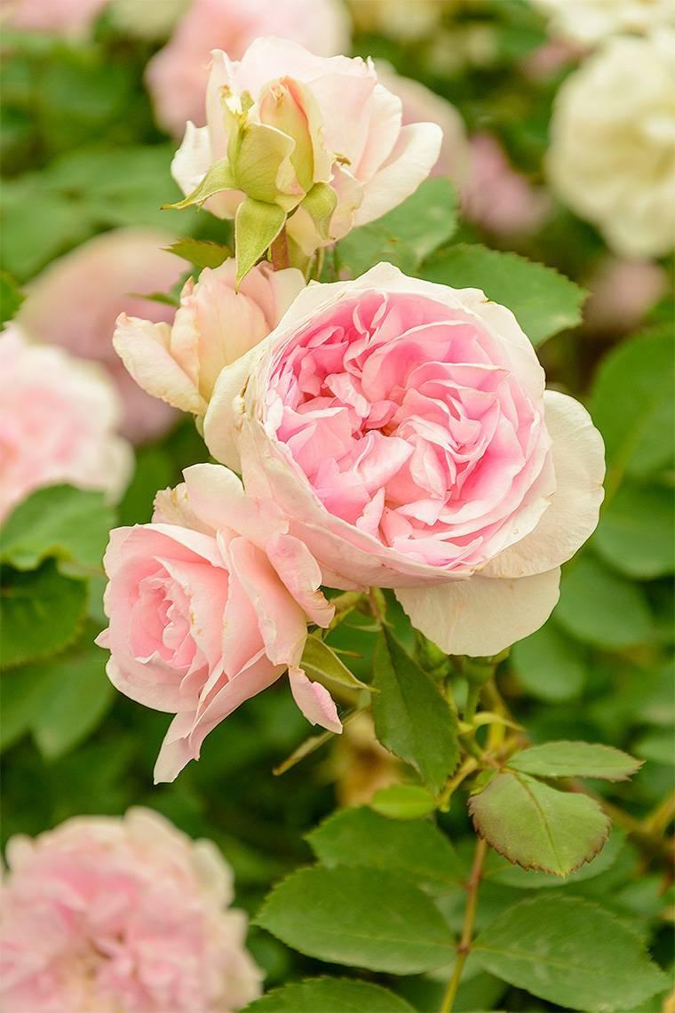 Почвопокровный сорт роз свани: как правильно высаживать в открытый грунт, уход