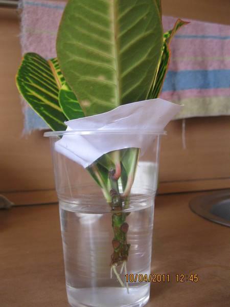 Кротон — уход в домашних условиях и как поливать это растение - pocvetam.ru