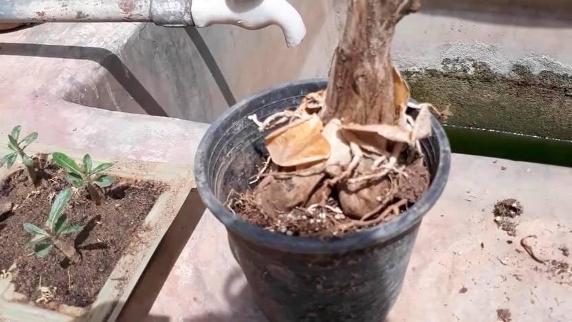 Обрезка адениума в домашних условиях, правильное формирование кроны, корней и уход: в каком возрасте и как пошагово проводить, чтоб зацвел, когда весной начинать?