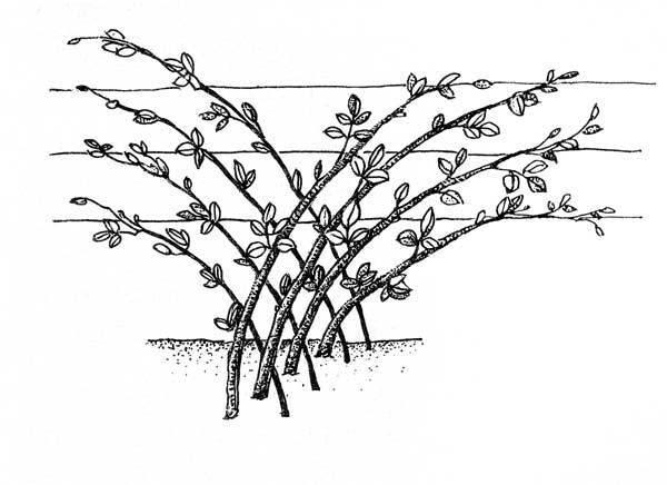 Куст крыжовника: посадка и уход, фото, удобрение, обрезка, виды и сорта