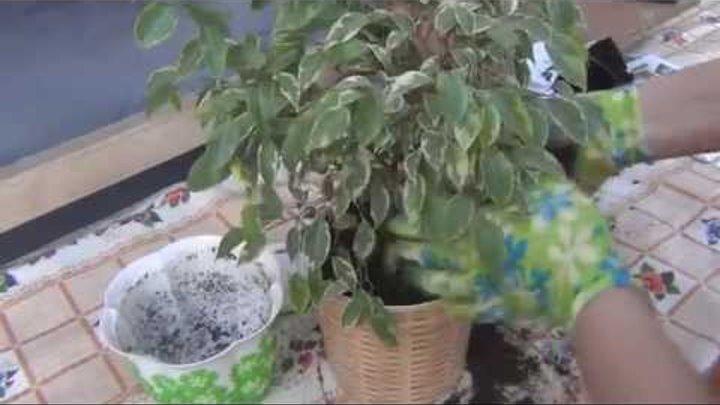 Особенности посадки и ухода за фикусом наташа в домашних условиях, выращивание