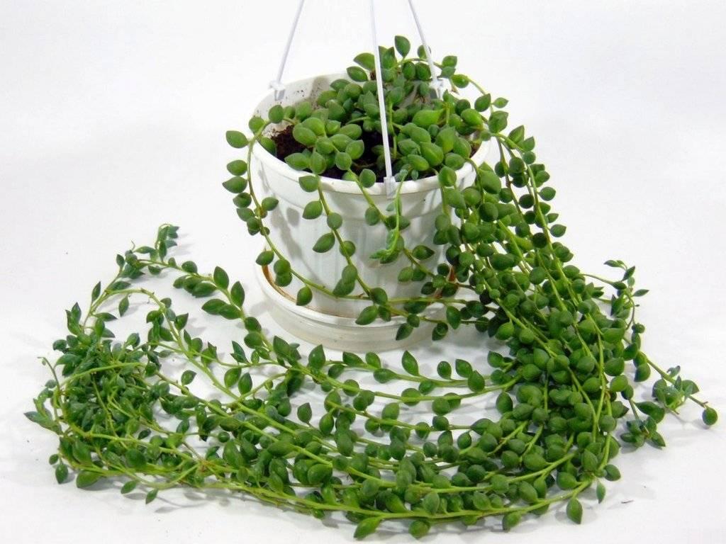 Растение крестовник роули, уход в домашних условиях, описание и фото