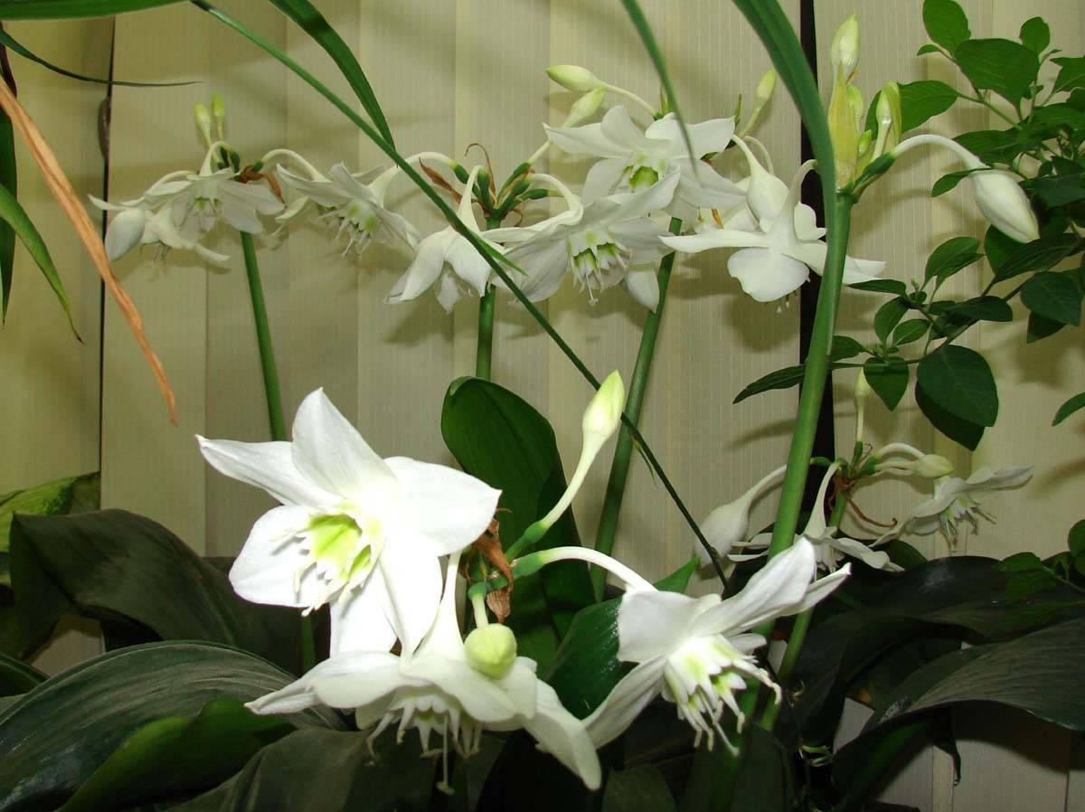 Прекрасная амазонская лилия или эухарис: фото, описание, а также правила ухода за цветком