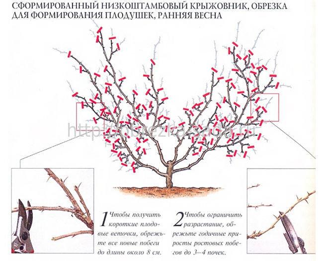 Уход за домашней бугенвиллией от посадки до цветения