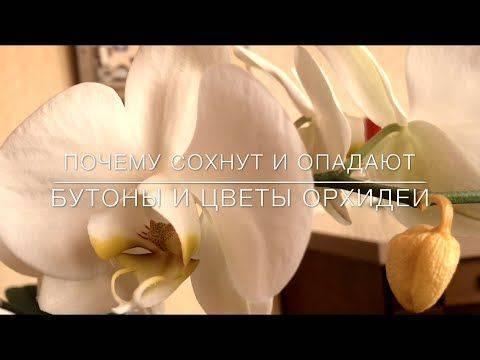 Вянут цветы у орхидеи: почему бутоны стали все одновременно быстро опадать, не раскрывшись, что делать, если это произошло и одно растение, не распускаясь, усыхает?