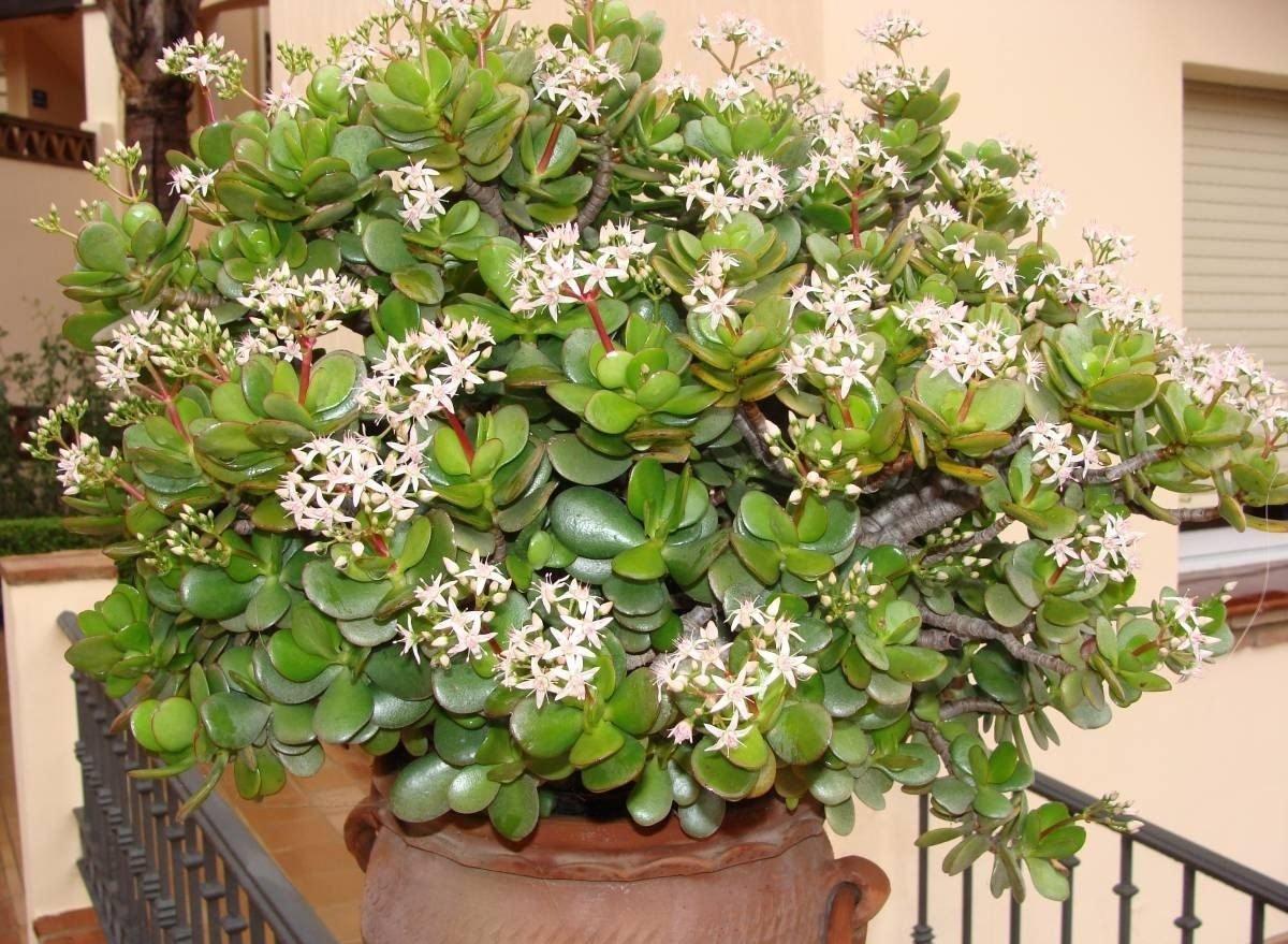 Цветение денежного дерева: как часто цветет толстянка в домашних условиях? как заставить крассулу зацвести?