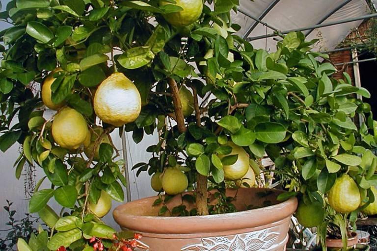Полив лимона в домашних условиях