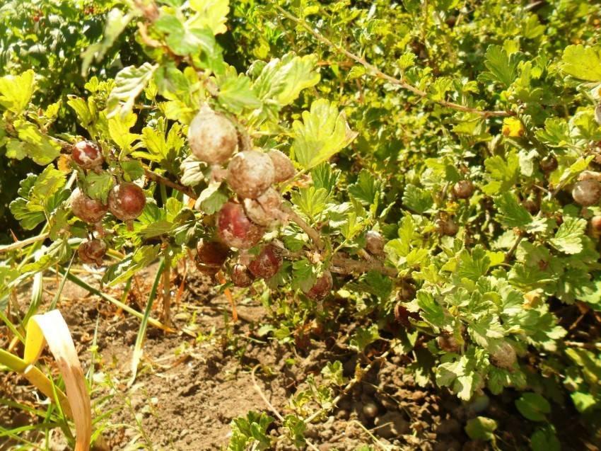 Чем обработать крыжовник весной, летом с ягодами