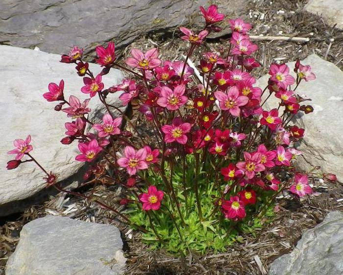 Цветок камнеломка: описание садовых и домашних растений - энциклопедия цветов