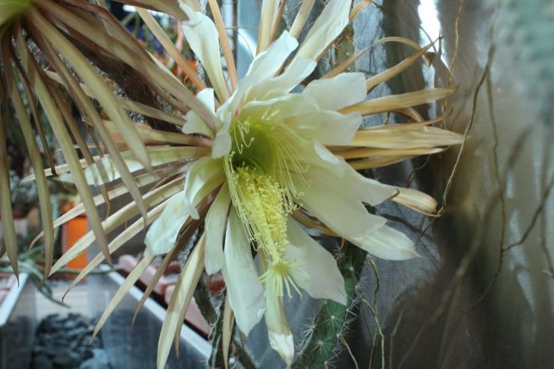 Шарообразный кактус — гимнокалициум