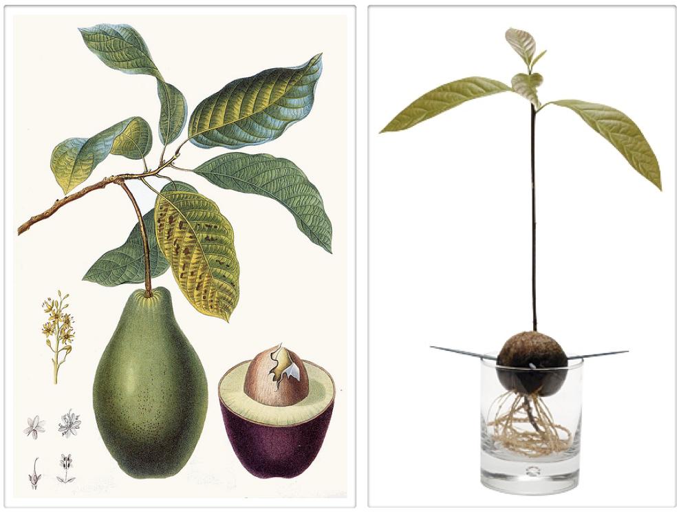 Как вырастить дерево авокадо в домашних условиях из косточки
