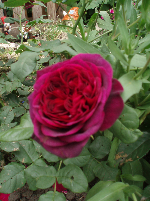 Чайно-гибридная роза илиос - описание, условия агротехники | о розе