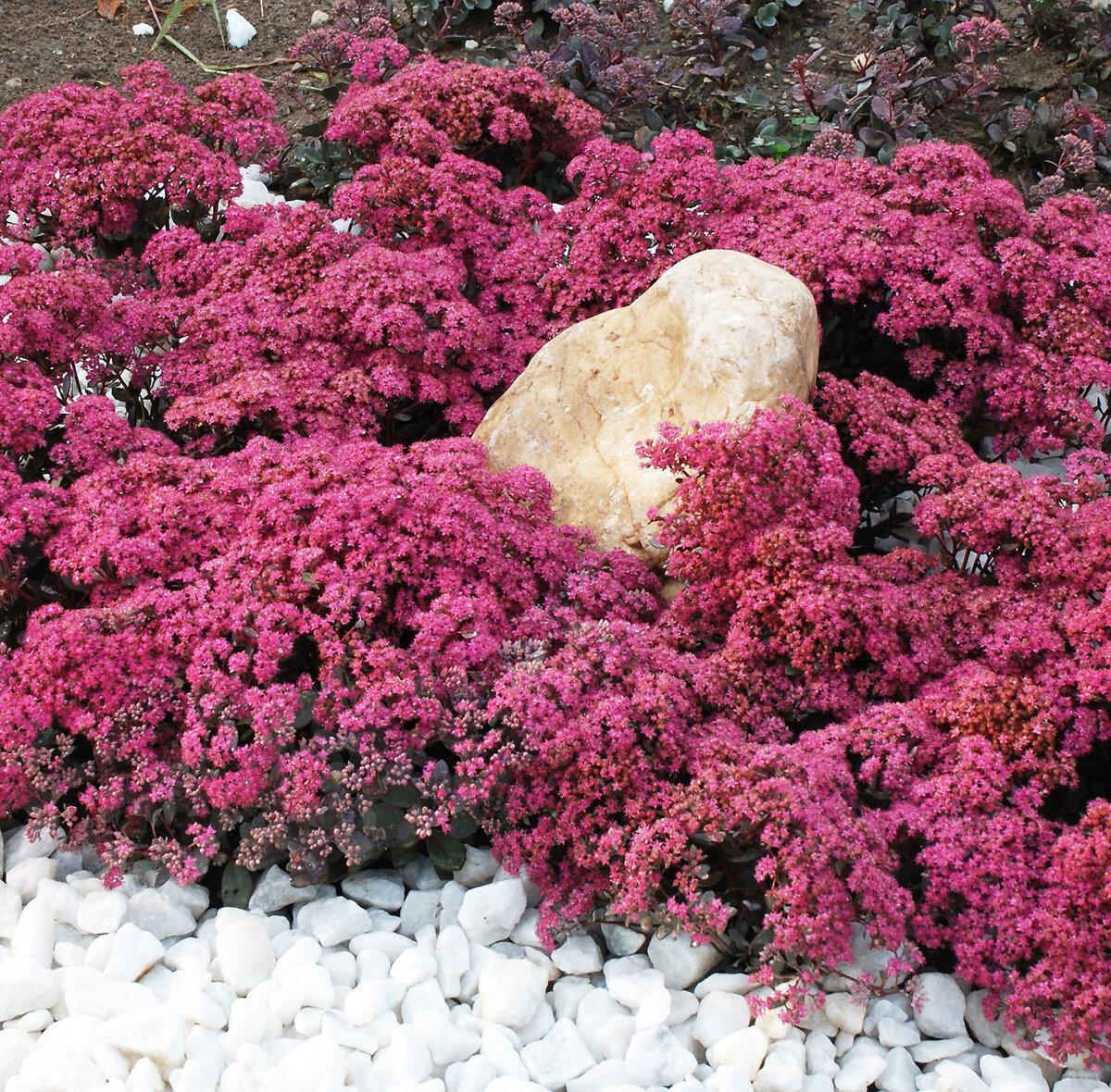 Вечнозеленый бересклет вида форчуна. посадка и выращивание на приусадебном участке