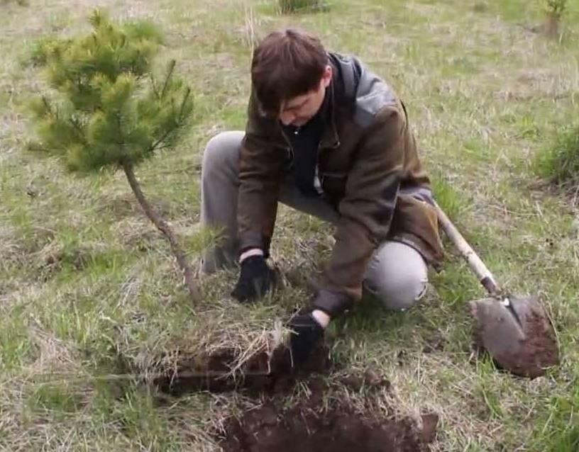 Хвойный бонсай: как вырастить мини-бонсай из кипарисовика элвуди и японского кедра, секвойи, пихты и других хвойных деревьев? особенности ухода в домашних условиях? как правильно делать обрезку?