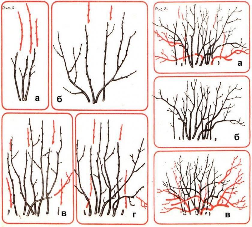 Обрезка барбариса осенью — уход за барбарисом