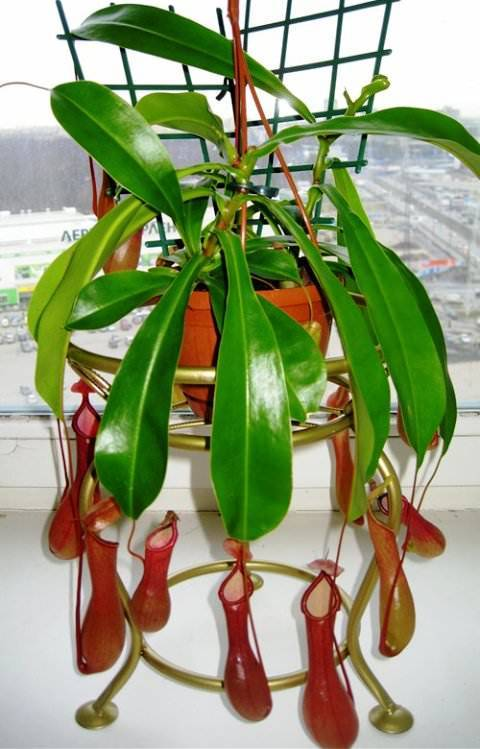 Непентес - растение хищник, фото, уход в домашних условиях | faterra.com