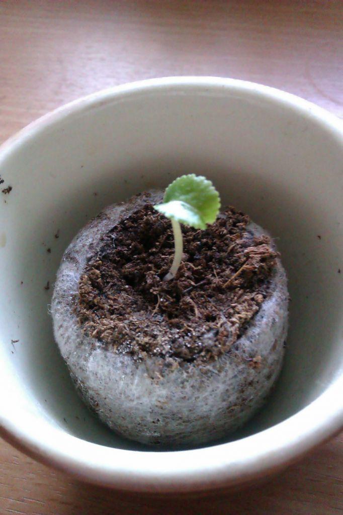 Цикламен из семян: размножение в домашних условиях, пошаговая инструкция по посадке, а также каким образом вырастить, как выглядит материал для посева на фото?
