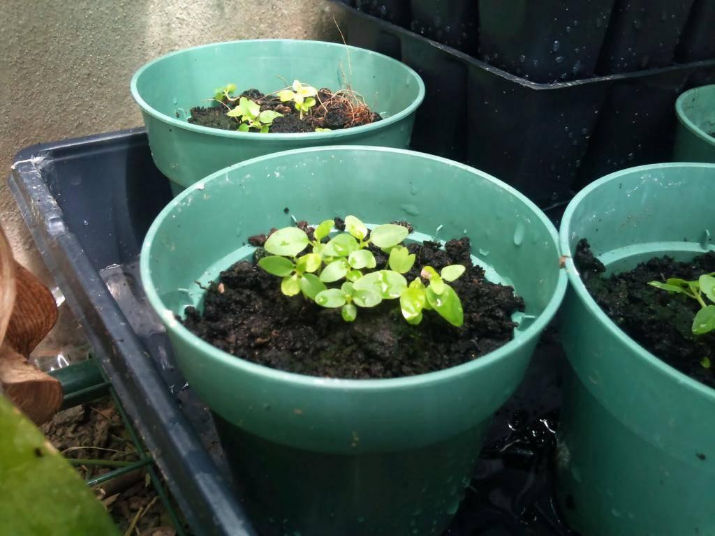 Как вырастить гортензию из семян: посадка и уход в саду, в домашних условиях
