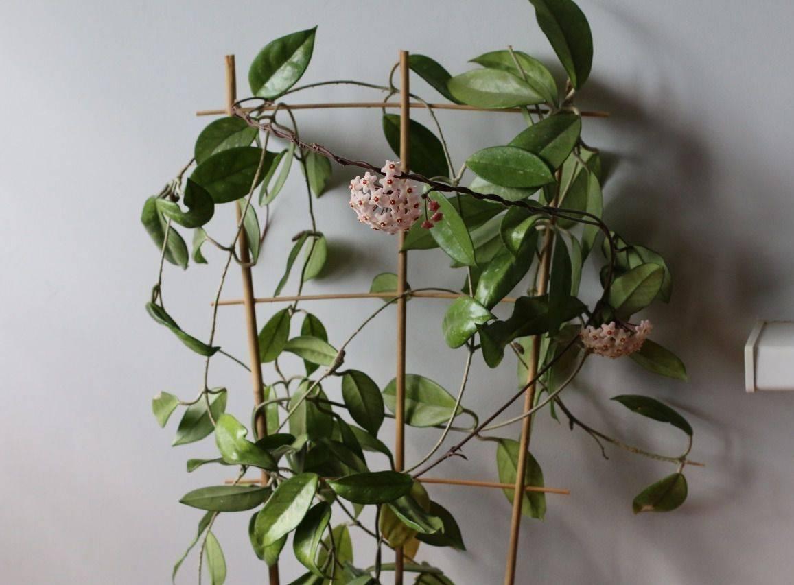 Хойя уход в домашних условиях полив удобрение грунт размножение