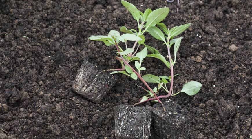 Выращивание годеции из семян, посадка и уход в открытом грунте