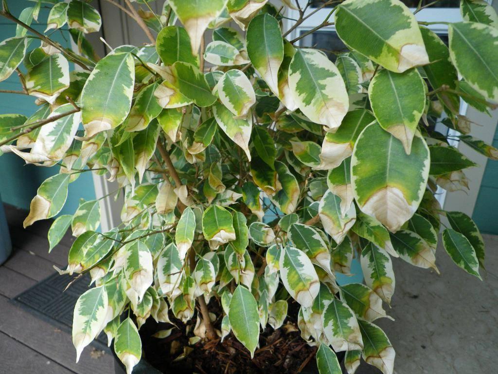 Фикус бенджамина сбрасывает листья - в чем причина? что делать, если у вашего фикуса опадают листья?