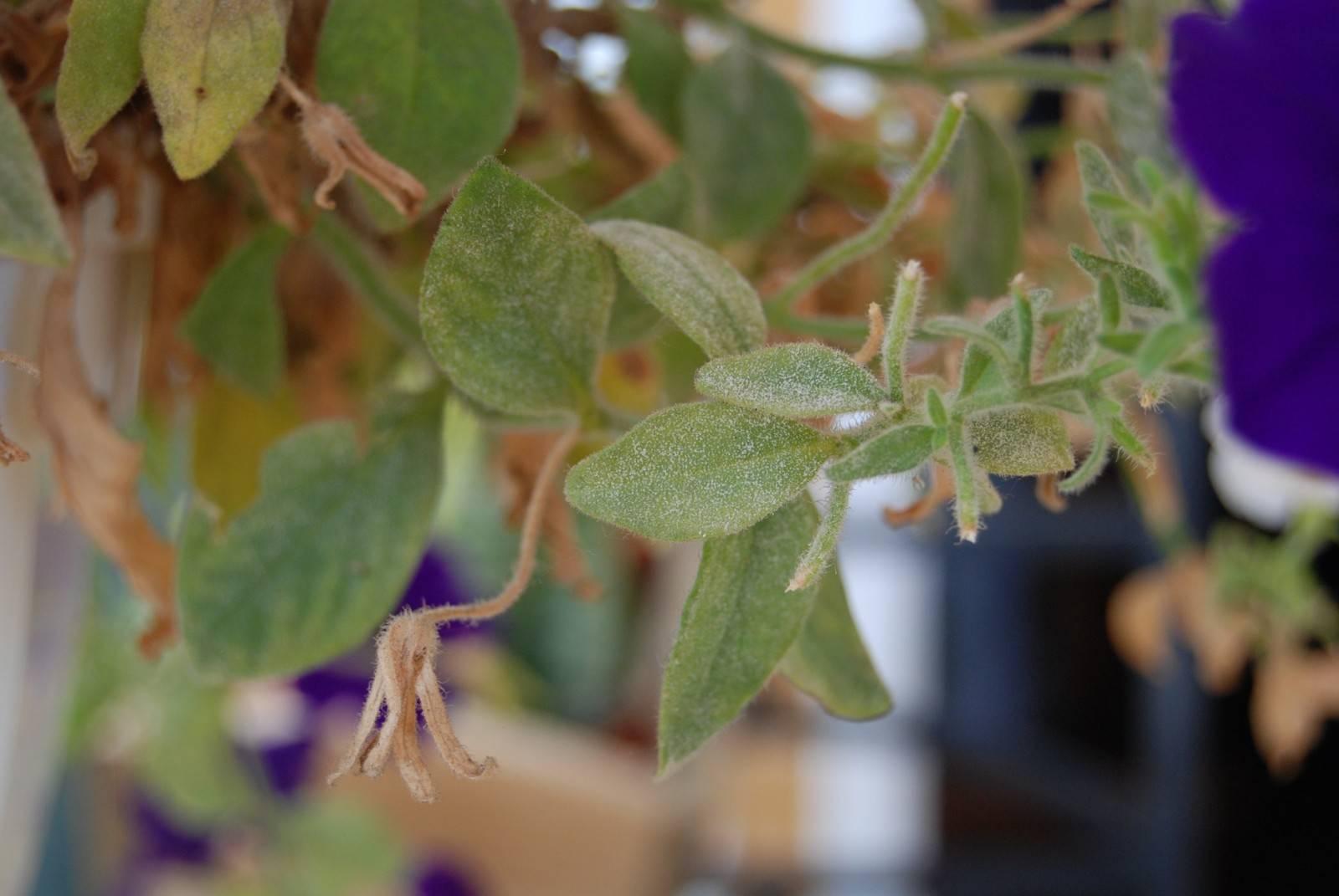 Болезни герани, у герани желтеют и сохнут листья — что делать?