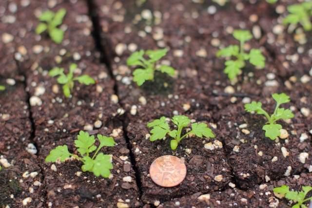 Нигелла: посадка и уход, выращивание из семян