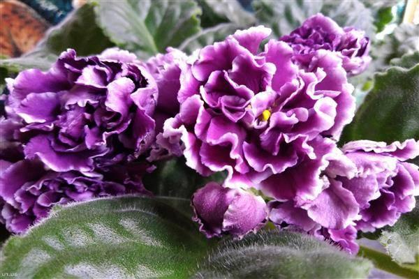 Выращивание пеларгонии denise в домашних условиях: уход и размножение денизы