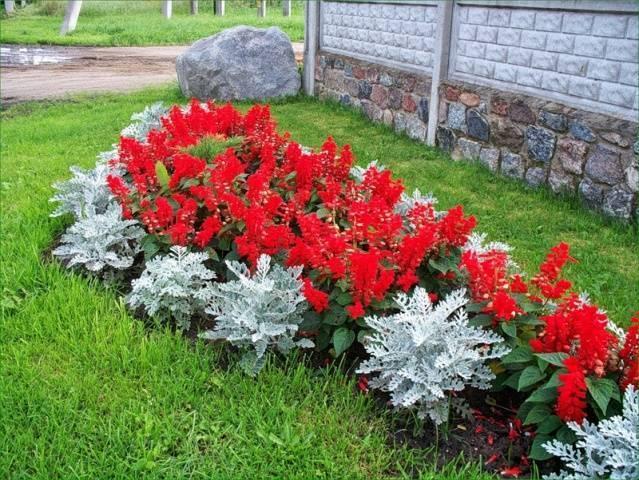 Сальвия ярко-красная: сорта, выращивание из семян