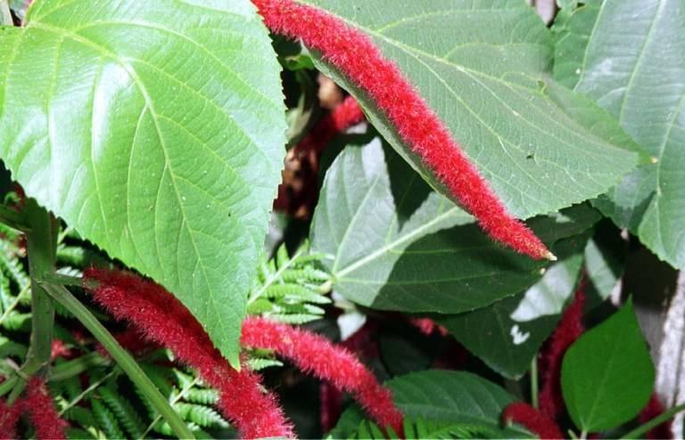 Акалифа: выращивание в домашних условиях