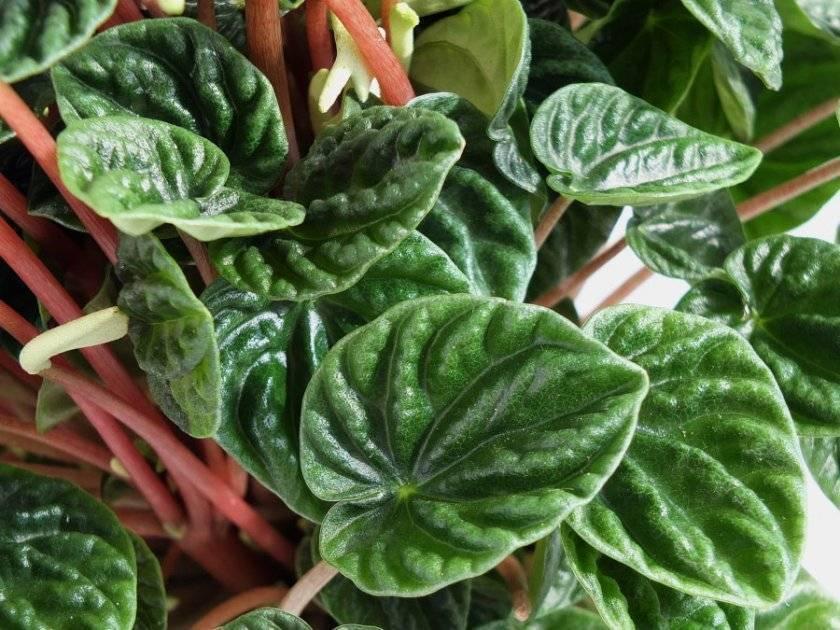 Описание горшочного растения пеперомия «лилиан»
