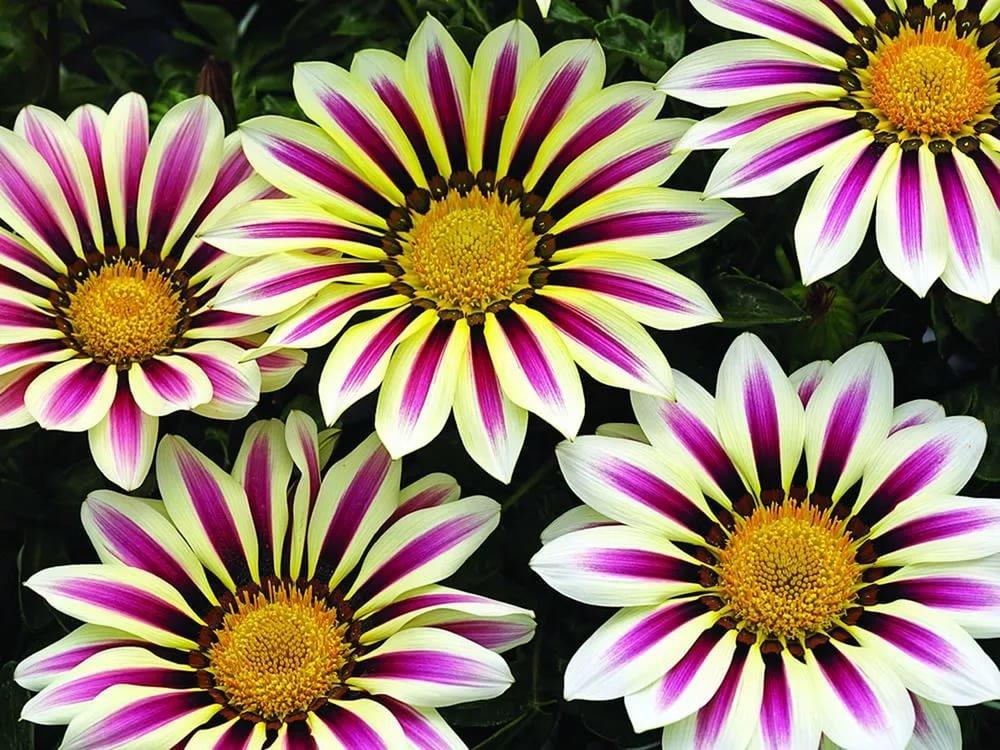 Цветы похожие на ромашки: фото и названия