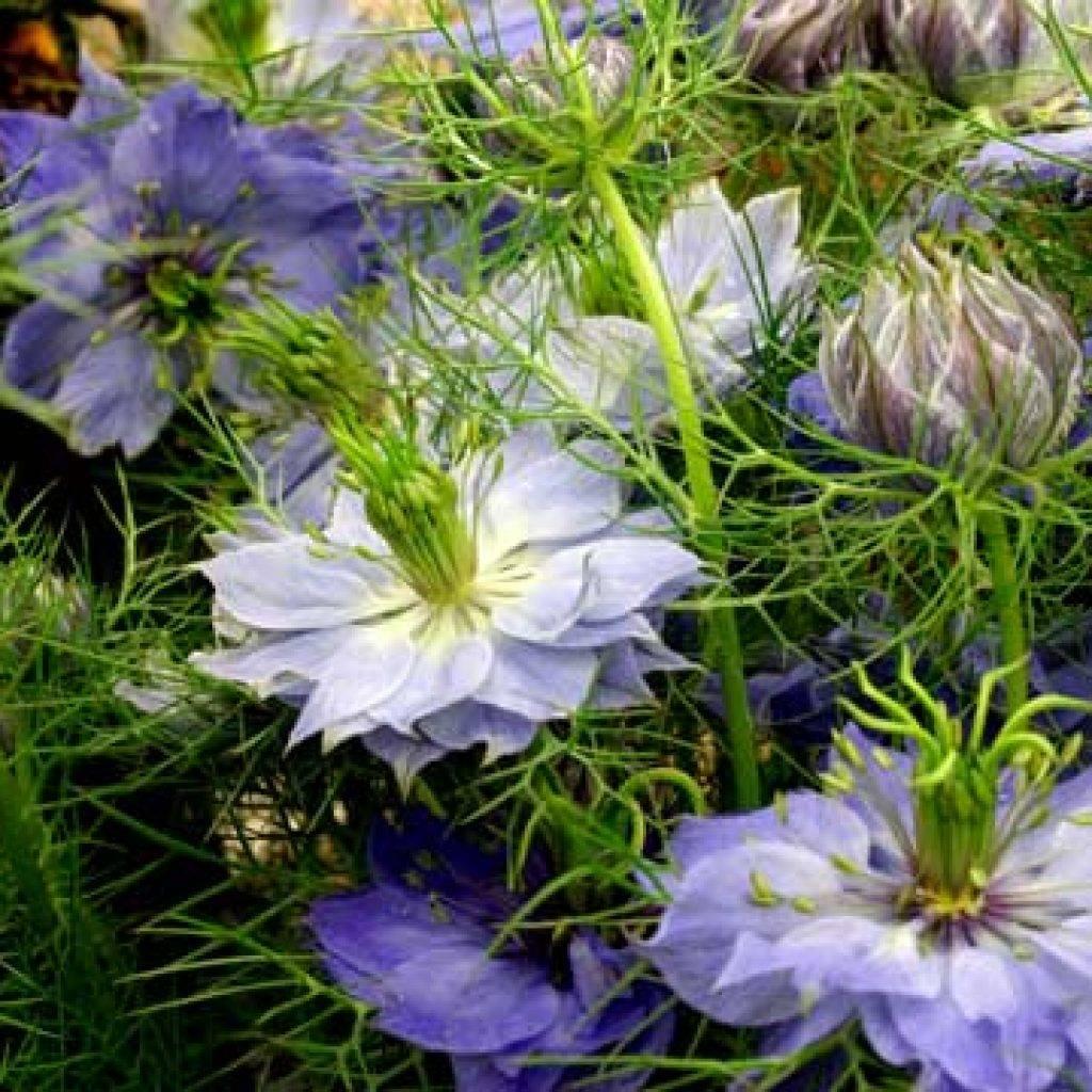Нигелла дамасская - выращивание из семян, посадка и уход - общая информация - 2020
