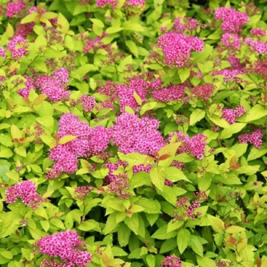 Спирея серая (63 фото): «грефшейм» и другие сорта, описание, обрезка после цветения и применение в ландшафтном дизайне, посадка и уход в открытом грунте
