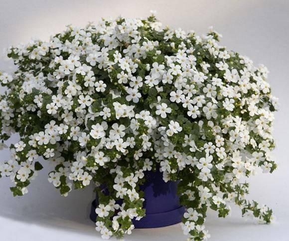 Бакопа ампельная — выращивание, уход, посадка