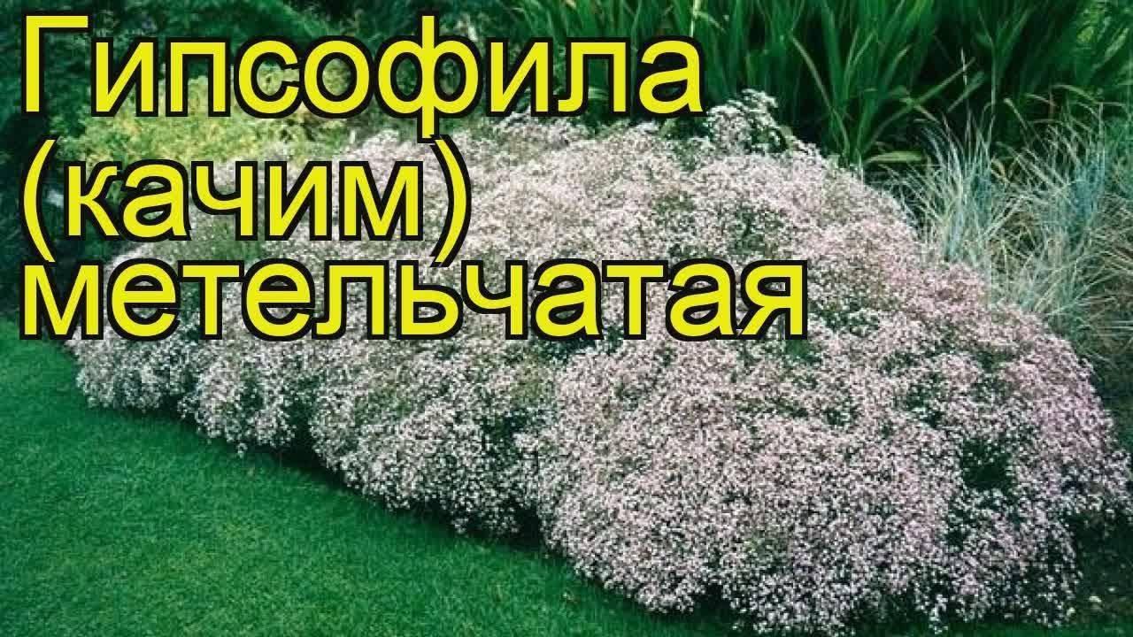 Гипсофила ползучая, выращиваем из семян