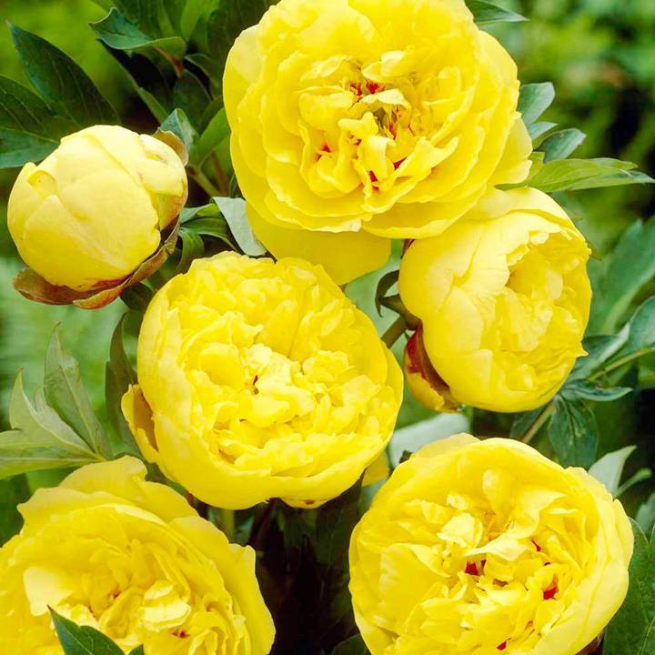 Пион йеллоу краун (paeonia yellow crown)