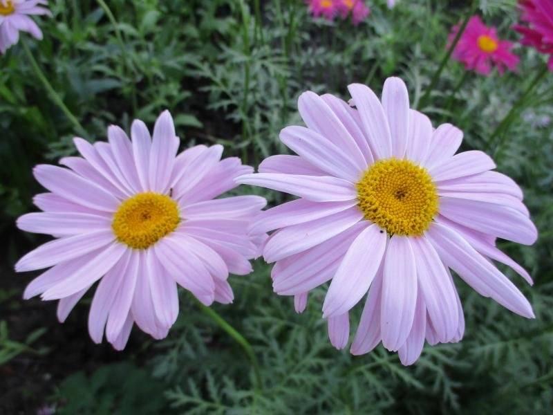 Персидская ромашка – пиретрум розовый